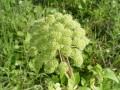 Angelica archangelica 1.jpg