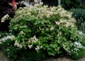 Fothergilla-major