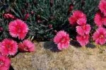 "goździk  ""Whatfield Ruby"" (łac. Dianthus) kod: 7373"