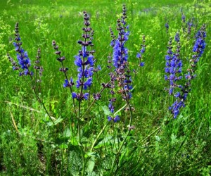 szałwia  (łac. Salvia stepposa) kod: 1103
