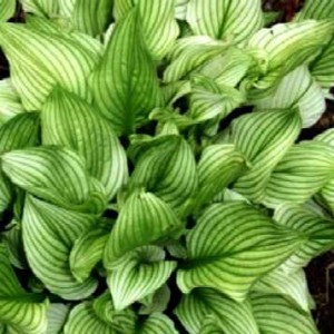 "funkia  ""Zebra Stripes"" (łac. Hosta) kod: 10062"