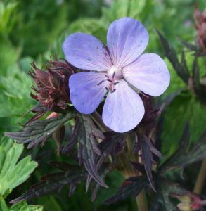 "bodziszek  ""New Dimension"" (łac. Geranium) kod: 8999"