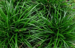 "turzyca Morrowa ""Irish Green"" (łac. Carex morrowii) kod: 1939"