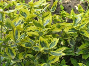 "trzmielina Fortune'a ""Emerald'n Gold"" (łac. Euonymus fortunei) kod: 5335"