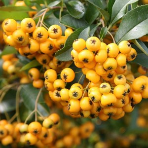 "ognik  ""Soleil d'Or"" (łac. Pyracantha) kod: 5362"