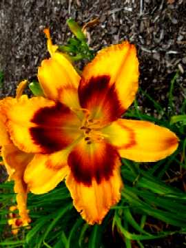 Hemerocallis Radiant Greetings.jpg