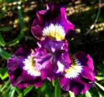 Iris sibirica Jewelled Crown.jpg