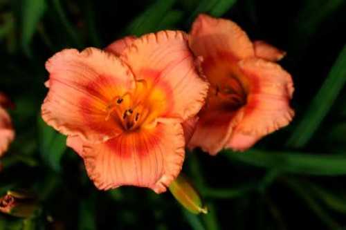 Hemerocallis Siloam Little  Girl.jpg