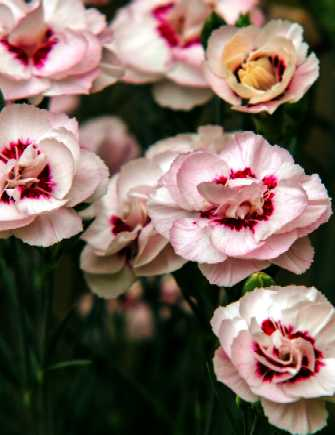 Dianthus Angel of Virtue.jpg