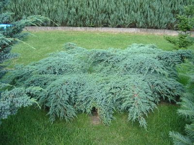 Juniperus squamata 'Blue Carpet