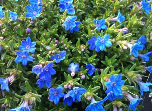 Lithodora diffusa Heavenly Blue.jpg