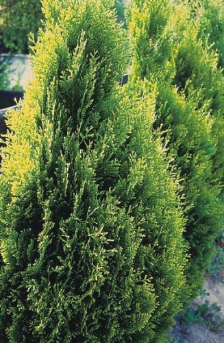 Thuja occidentalis Kórnik