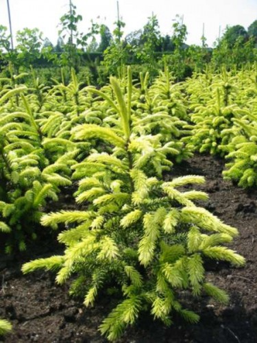 Picea orientalis Golden Start
