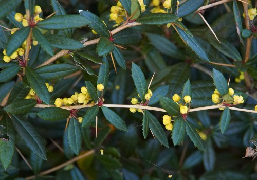 Berberis_julianae