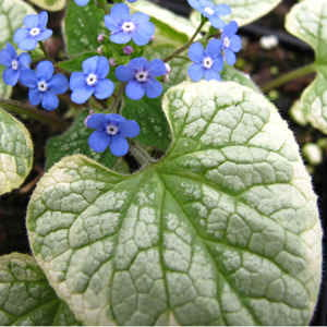 Brunnera-macrophylla-Kings-Ransom.jpg