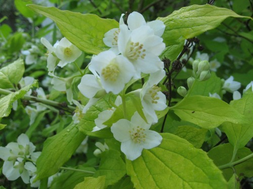 Philadelphus Yellow Hill