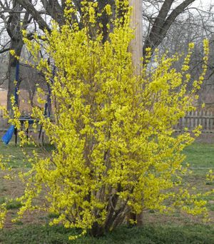 Forsythia intermedia Goldzauber