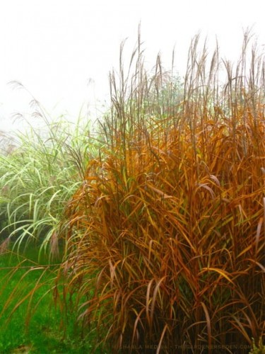 Miscanthus sinensis Indian Summe.jpg
