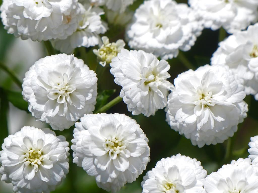 белый жемчуг цветы фото только
